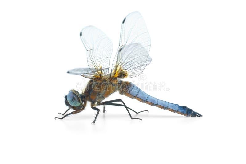 大蓝色depressa蜻蜓libellula 库存照片