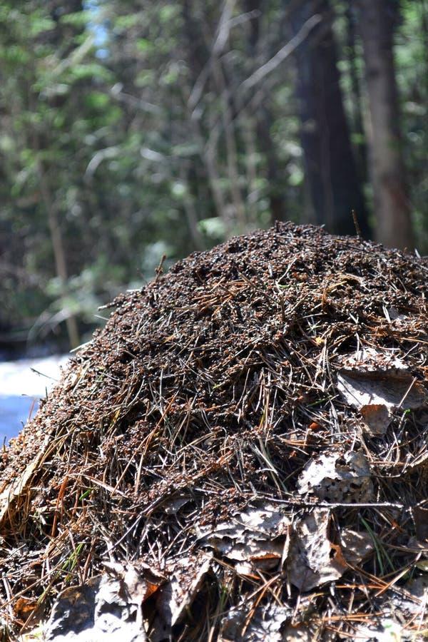 大蚁丘在狂放的杉木乌拉尔森林车里雅宾斯克地区,俄罗斯 免版税库存照片