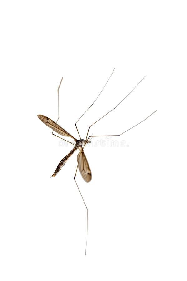 大蚊 免版税库存图片