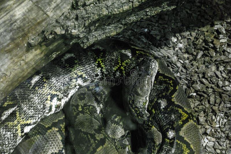 大蛇 免版税库存图片
