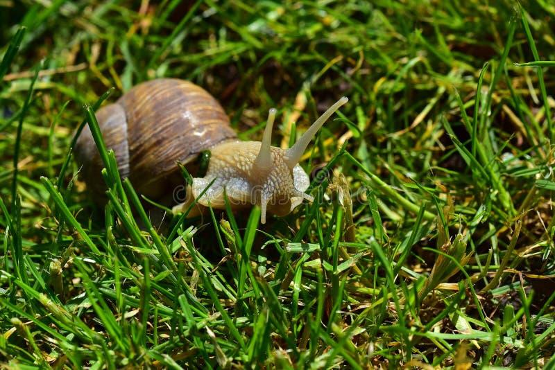 大蜗牛关闭 图库摄影