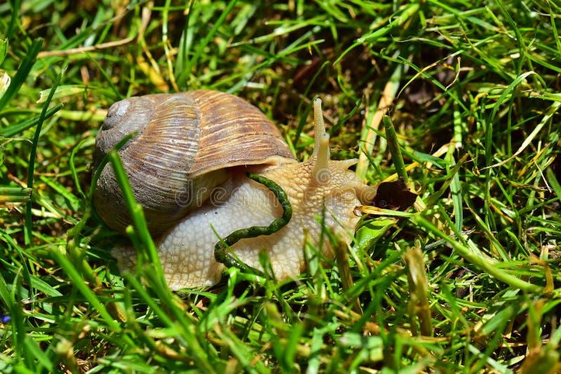 大蜗牛关闭 库存照片