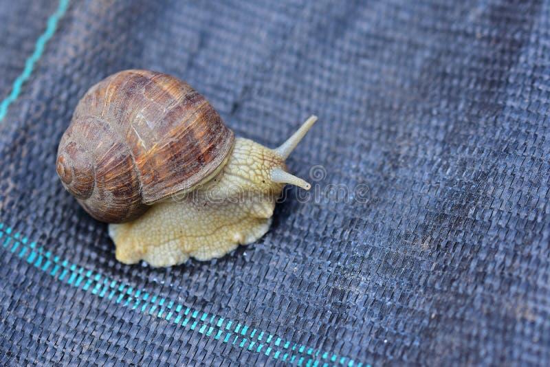 大蜗牛关闭 免版税库存图片