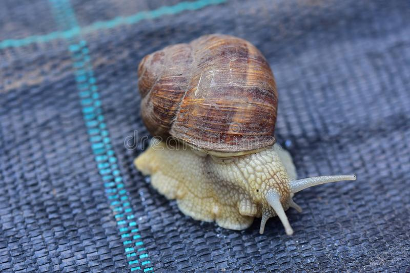 大蜗牛关闭 免版税图库摄影