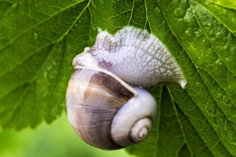 大蜗牛在绿色叶子的庭院里 库存图片