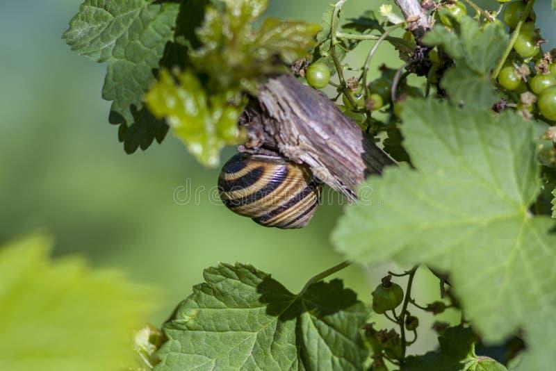 大蜗牛 叶子背景 藤背景 Viongradnaya藤和无核小葡萄干灌木 ? 蜗牛睡觉 在藤的蜗牛 T 免版税库存照片