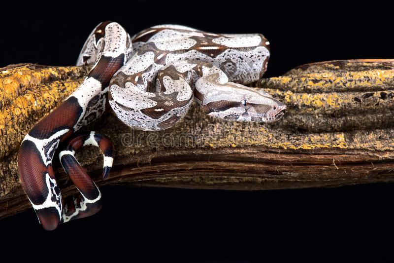 大蟒蛇大蟒蛇缩窄器 图库摄影