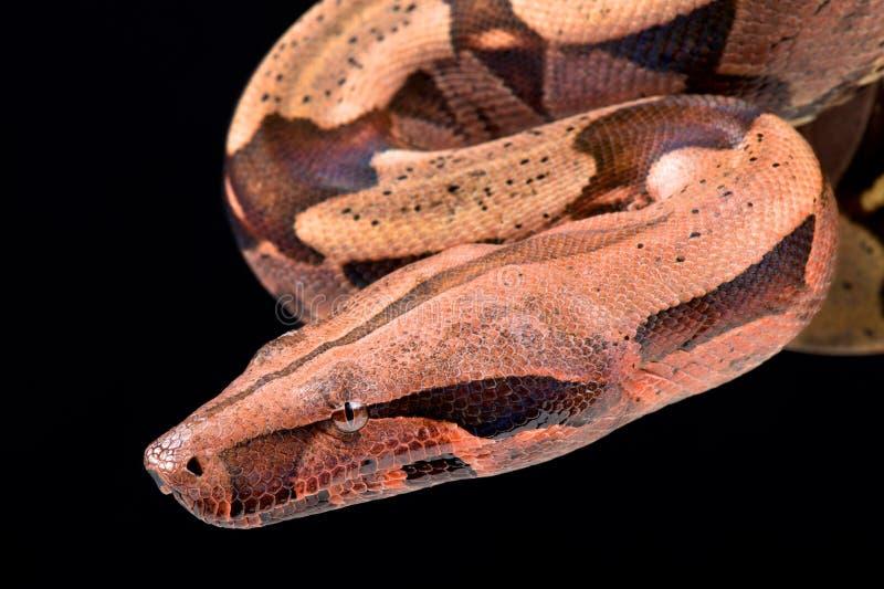 大蟒蛇大蟒蛇缩窄器 免版税库存图片