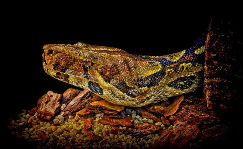 大蟒蛇蛇 免版税库存图片