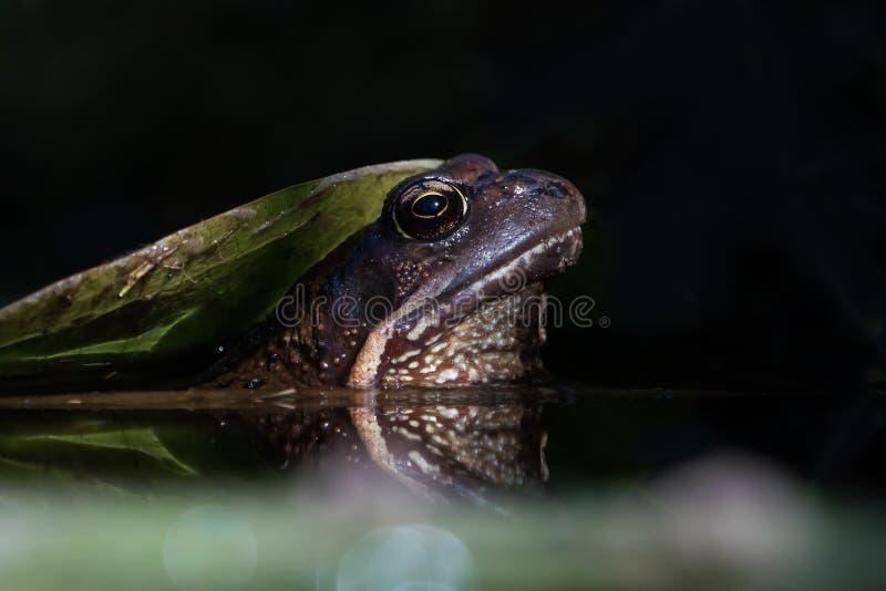 大蟾蜍在水中 库存照片