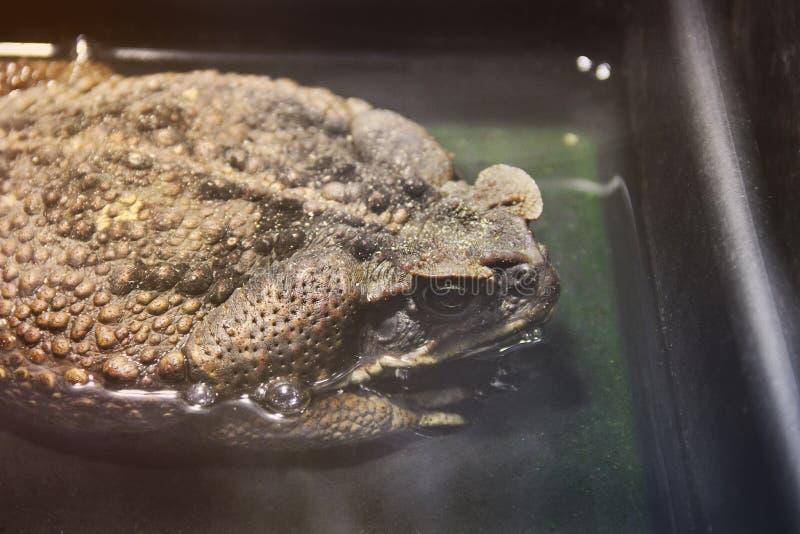大蟾蜍在水中 免版税库存照片