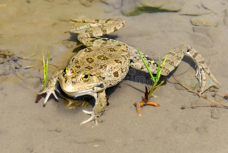 大蟾蜍在池塘 库存照片