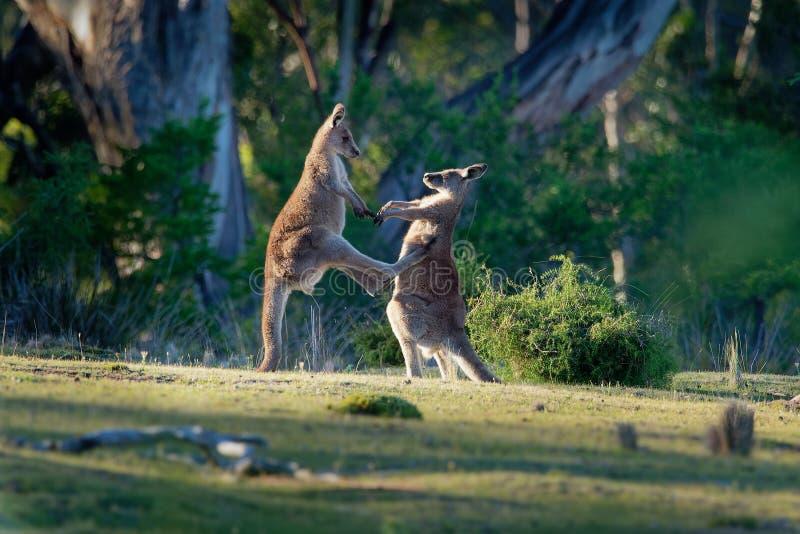 大袋鼠属giganteus -战斗互相的东部灰色袋鼠在塔斯马尼亚岛在澳大利亚 免版税图库摄影