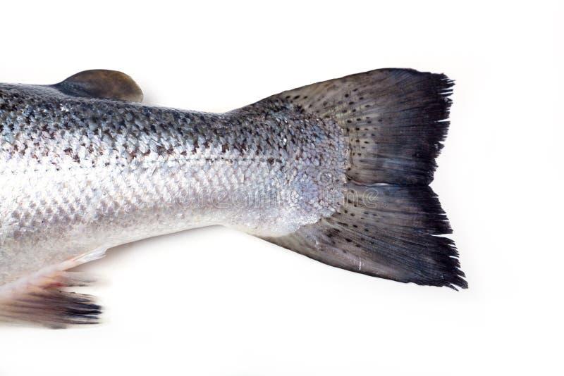 大西洋三文鱼的尾巴 库存照片