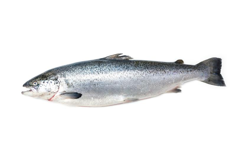 大西洋三文鱼鱼 免版税库存图片