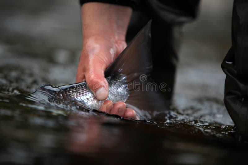 大西洋抓住版本三文鱼 库存照片