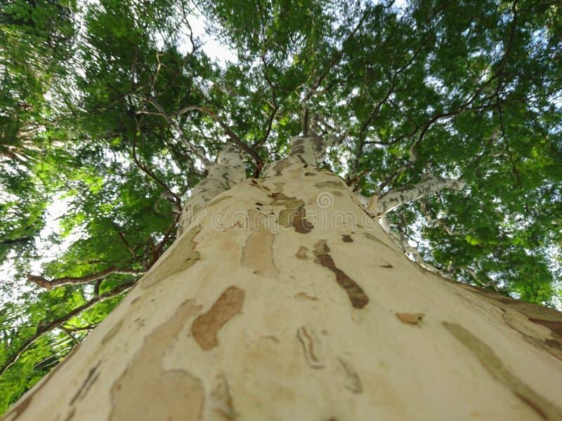 大西洋沿岸森林01的当地树 免版税库存照片