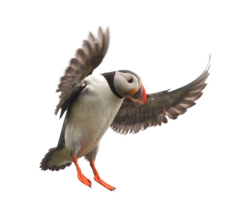 大西洋海鹦或共同的海鹦-在飞行中Fratercula arctica 免版税库存图片