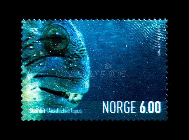 大西洋狼鱼(Anarhichas狼疮),海洋生物serie,大约2 库存图片