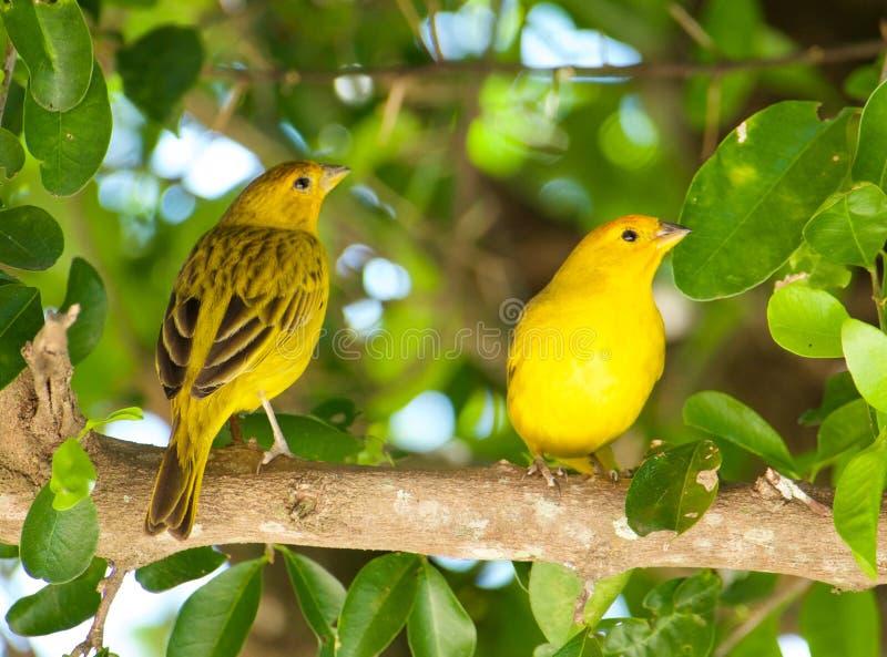 大西洋金丝雀,一只小巴西野生鸟 库存照片