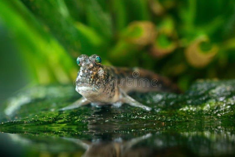 大西洋mudskipper, Periophthalmus barbarus,鱼在绿色水栖所 与大眼睛的动物 免版税库存图片
