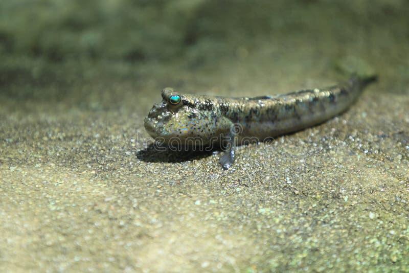 大西洋mudskipper 免版税库存图片