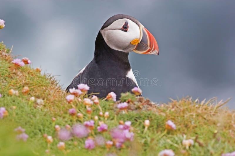 大西洋海鹦从峭壁查寻 免版税库存图片