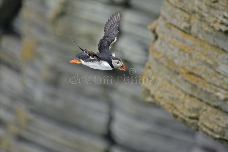 大西洋海鹦从峭壁潜水 免版税图库摄影