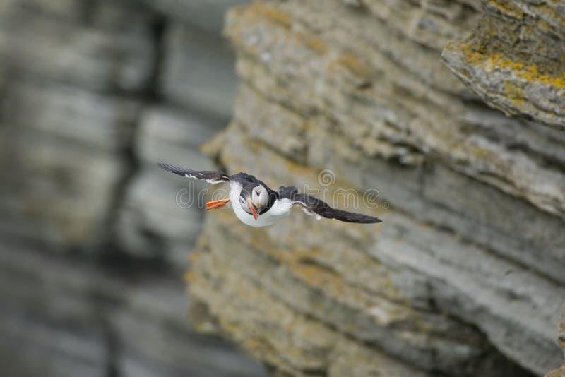 大西洋海鹦从峭壁飞行 免版税图库摄影