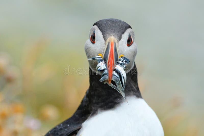 大西洋海鹦 免版税图库摄影