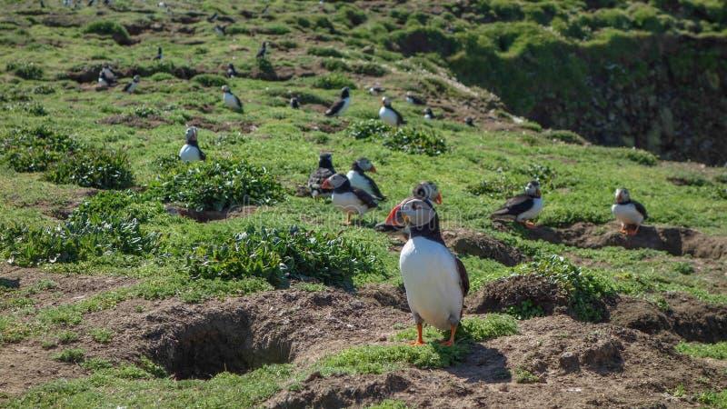 大西洋海鹦- Skomer海岛 免版税库存图片