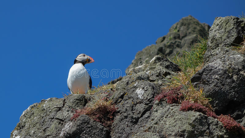 大西洋海鹦- Skomer海岛 库存照片