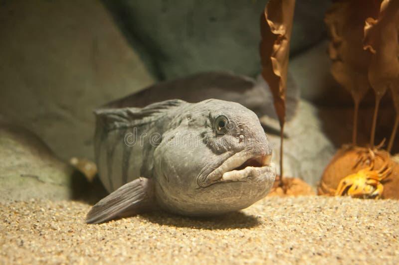 大西洋狼鱼Anarhichas狼疮 免版税库存图片