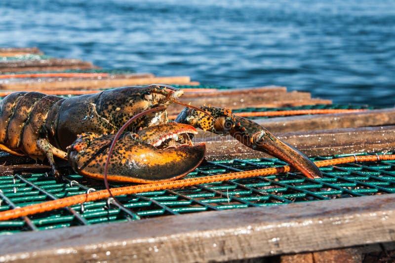 大西洋龙虾 库存照片
