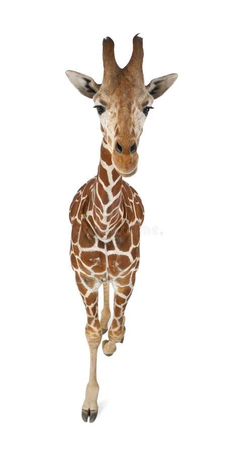 大角度观点的索马里长颈鹿 免版税图库摄影