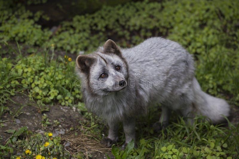 大角度观点的逗人喜爱的幼小白狐在夏天变体查寻 免版税库存图片
