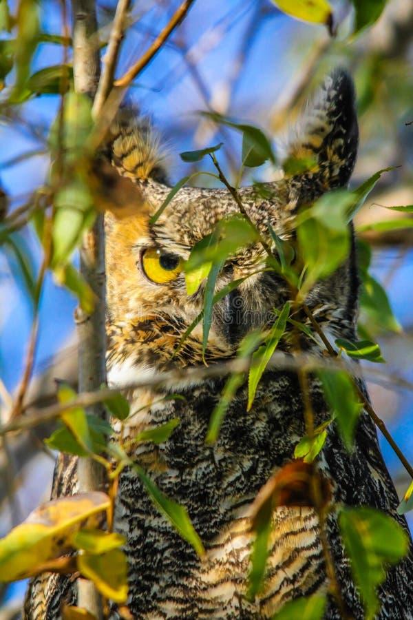 大角枭,不列塔尼的野生生物储备,蒙大纳州人,美国 库存照片