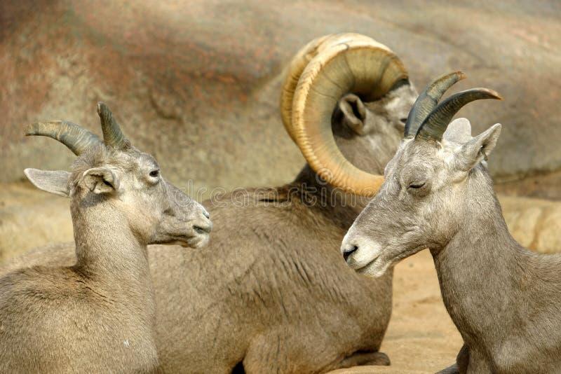 大角羊亲密的家庭绵羊 库存照片