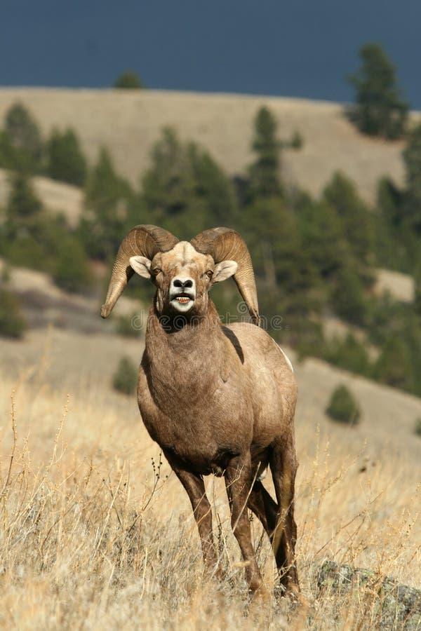 大角羊公羊绵羊 库存图片