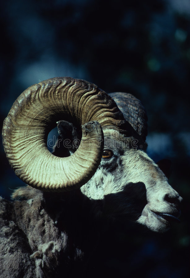 大角羊公羊绵羊
