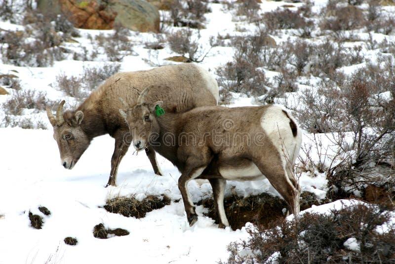 大角羊女性绵羊 免版税库存照片