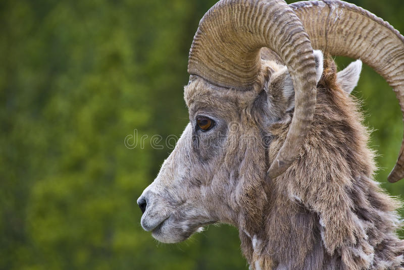 大角羊山岩石绵羊 库存图片
