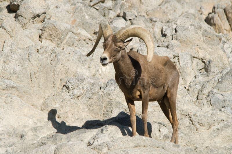 大角羊沙漠绵羊 库存图片