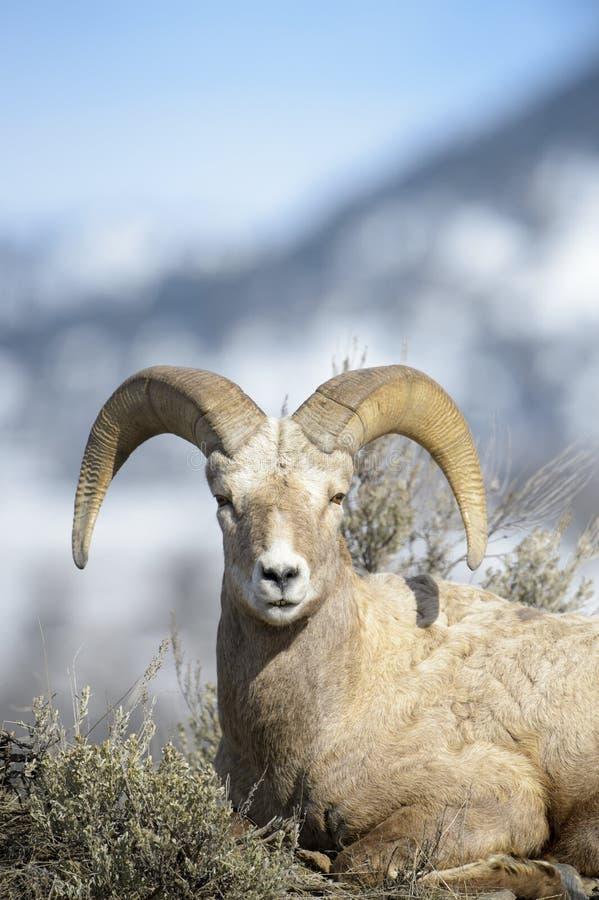 大角野绵羊公羊,在土坎的贤哲之间,冬天 免版税库存照片
