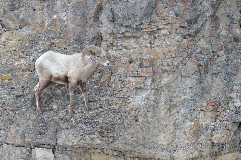 大角野绵羊公羊,站立在土坎,冬天 免版税库存图片