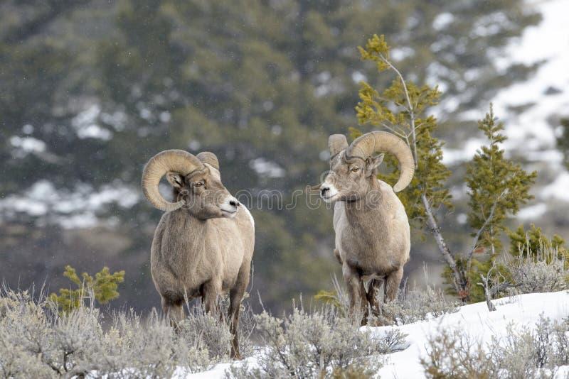 大角野绵羊公羊,站立在土坎,冬天 免版税图库摄影