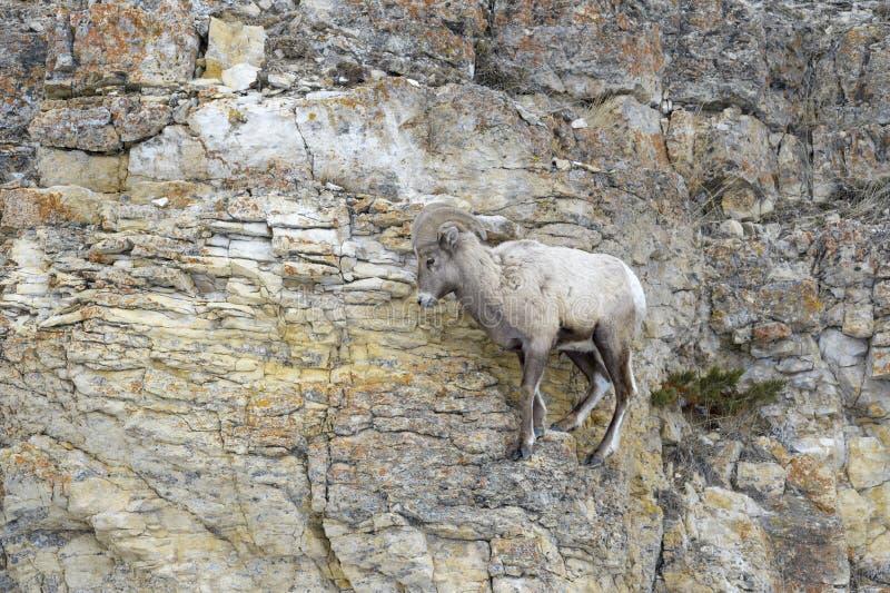 大角野绵羊公羊,站立在峭壁 库存图片