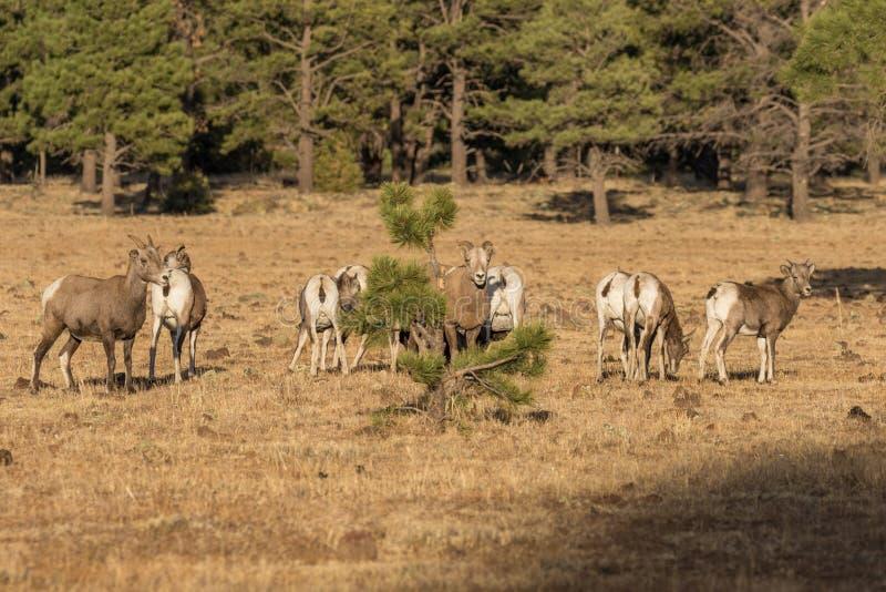 大角野绵羊母羊牧群  库存照片