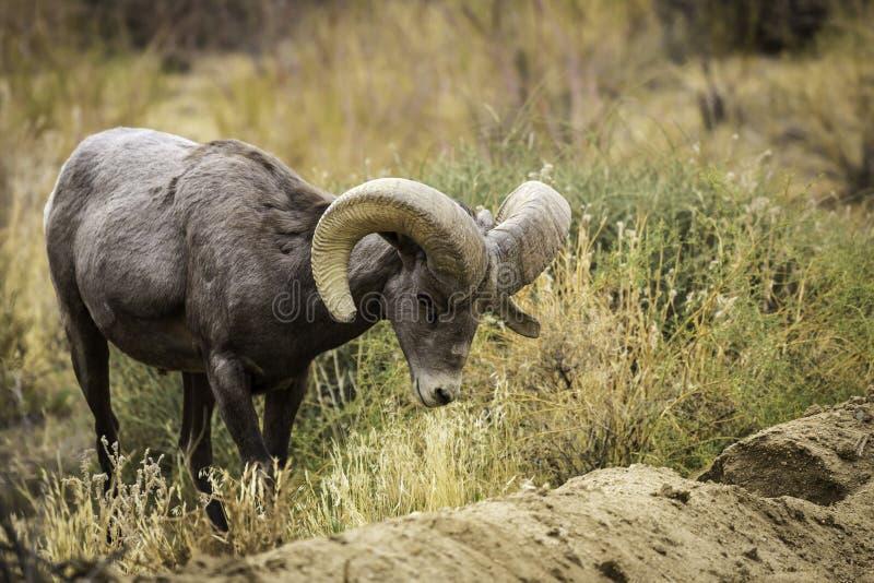大角野绵羊Ram在约书亚树国家公园吃草 库存照片