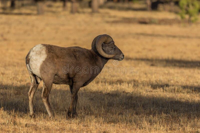 大角野绵羊Ram在草甸 图库摄影